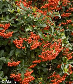 Firethorn, or pyracantha, is a tough, very spiky ornamental evergreen shrub that has creamy-white flowers in spring