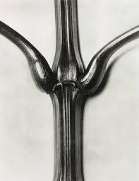 Karl Blossfeldt 1865-1932 photography - Поиск в Google