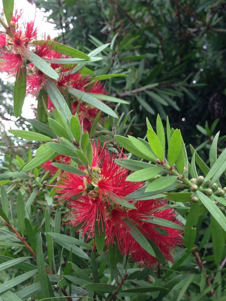 Red Bottlebrush Callistemon Live Plant 1 gal Container 2ft Tall