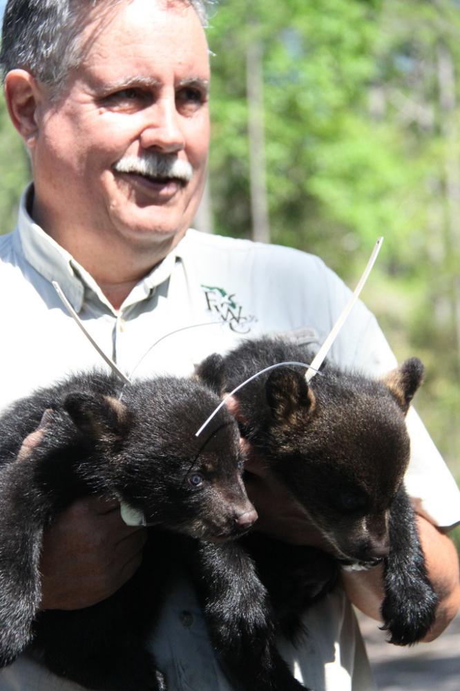 Photos adorbable 8 week old bear cubs florida fish for Florida fish wildlife