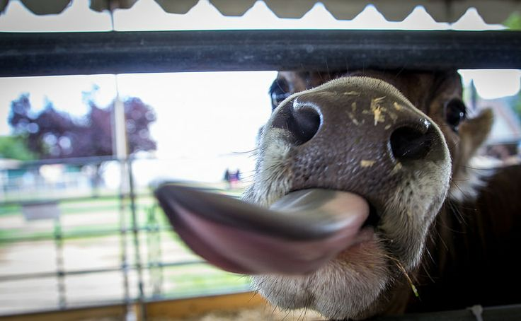 Day 183 - Tongue - At the Alameda County Fair, cow wanted to lick the camera. #photoaday #project365 #AlamedaCountyFair #Cow #Tongue