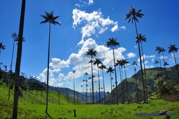 Wax palms in Valle del Cocora, Colombia. These are the tallest palm trees in the world!