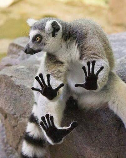 .Funny Lemur!  He's like no, no!  Lol.  :)