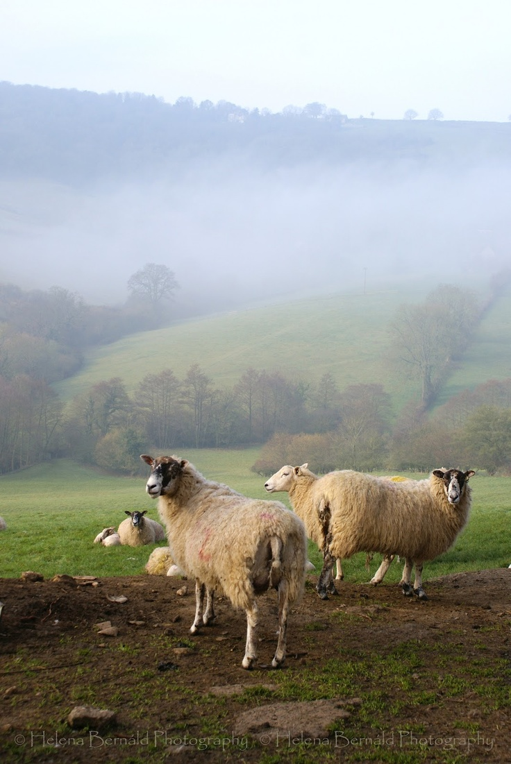 Sheep near Bath, England