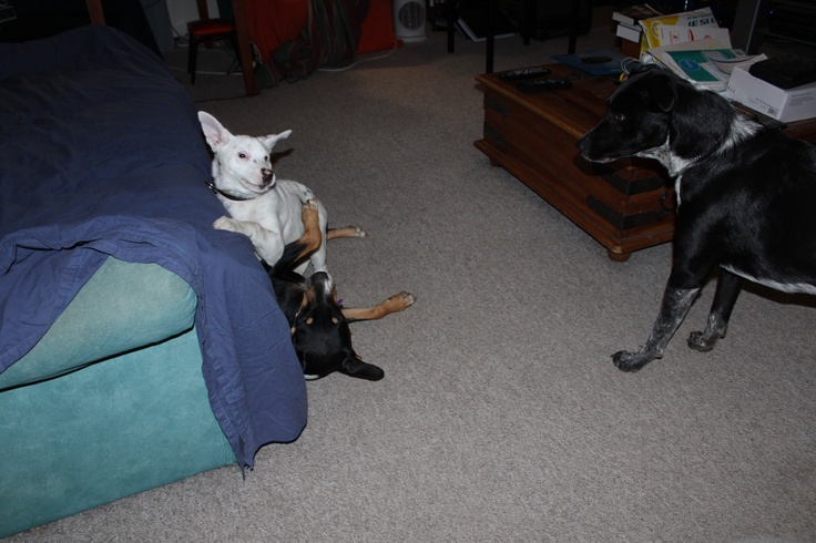 And then Diva got into the act and Smoke just watches what is happening