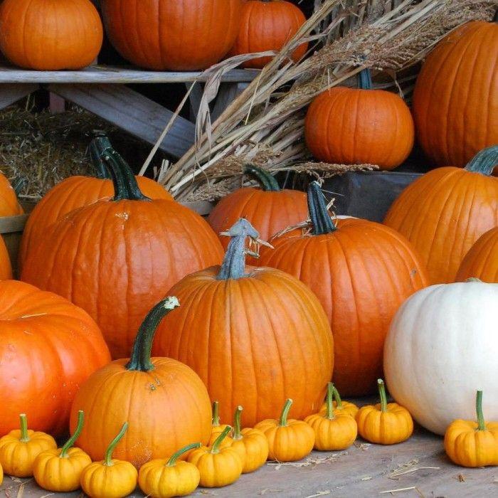 Great pumpkin patches in Michigan