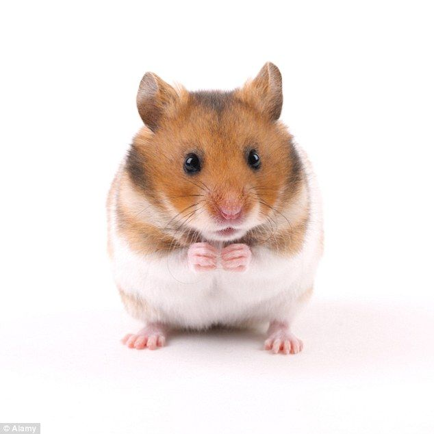 Image Result For Hamster Sitting Up Syrian Hamster Cute