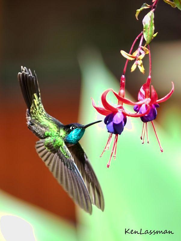Acrobatic Hummingbird. Amazing looking pose!