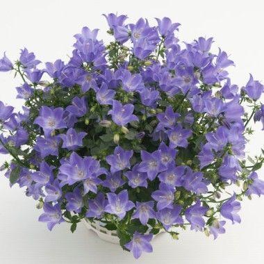 uelizabethu de notre slection plantes pour massifs balcons pots et jardinires disponible dans. Black Bedroom Furniture Sets. Home Design Ideas