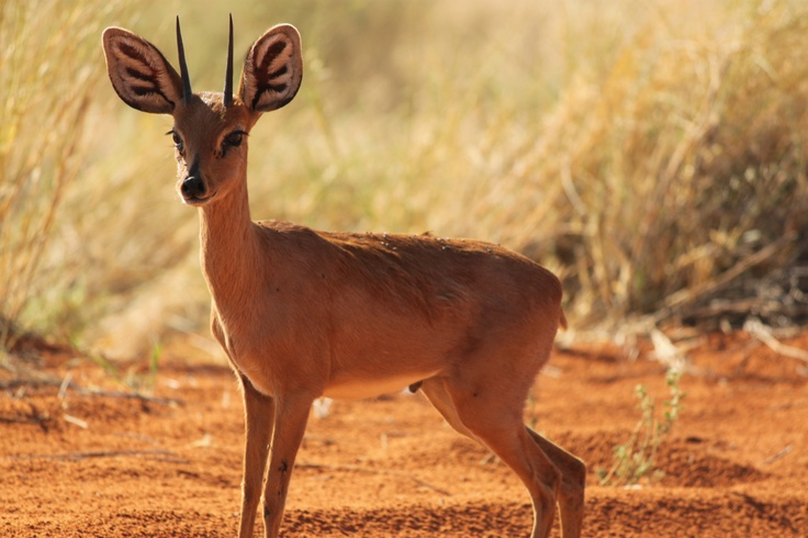 A little duiker steps out into the morning sun. #Namibia