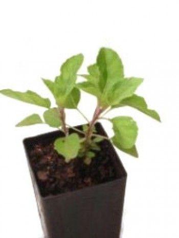 Organic Tulsi Krishna Basil   Ocimum tenuiflorum plant - herbcottage