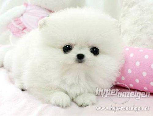 Super Cute Pomeranians Puppies | Zwergspitz/ Pomeranian Welpe - Detail der Anzeige