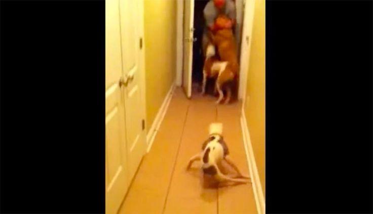 Emma es una pequeña perra mezcla de pitbull que tiene una gran personalidad. A pesar de que tiene un defecto de nacimiento que dejó sus patas traseras completamente paralizadas, este video conmovedor muestra que su amor es más grande que su discapacidad.