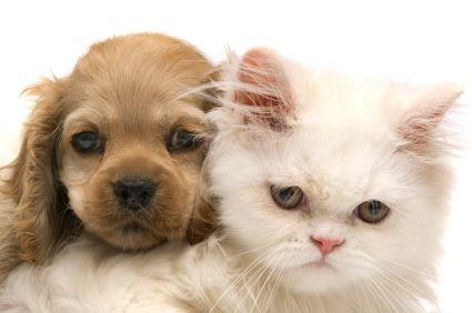 Bmh Cat Breed