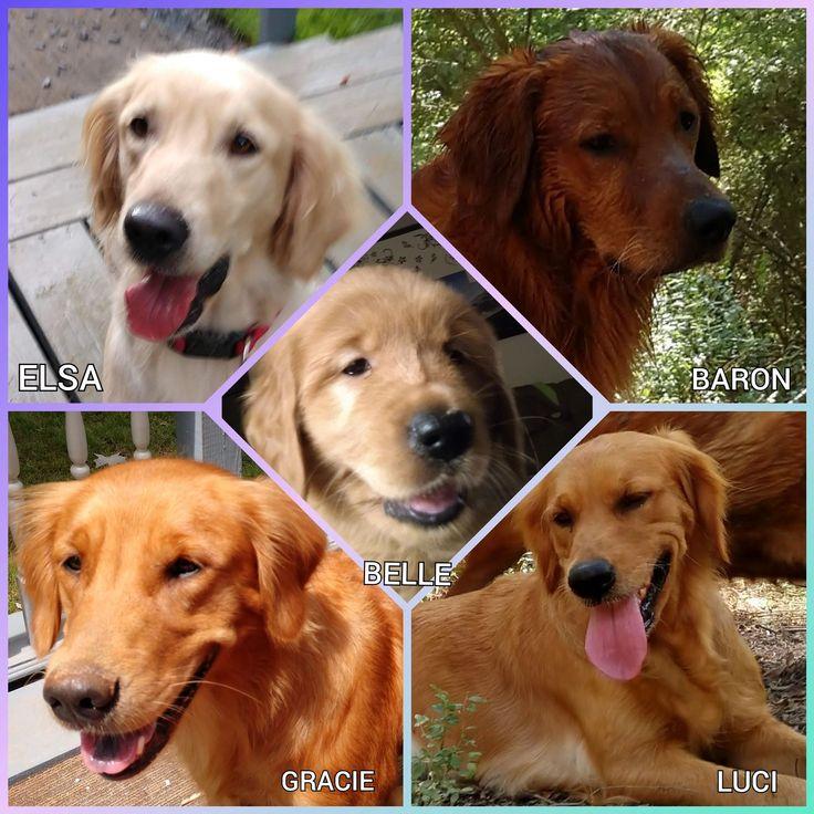 Acres of goldens retriever puppy golden retriever puppies