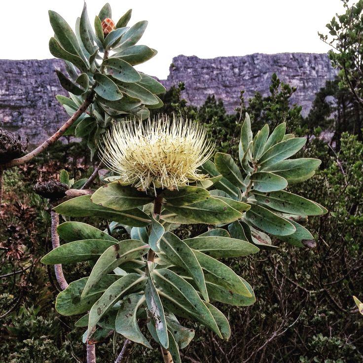 Table Mountain prota