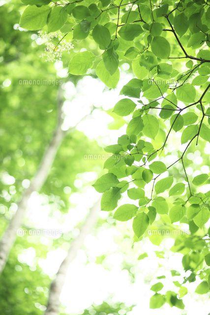 道民の森の新緑 (c)Hidehiro Okochi/a.collectionRF
