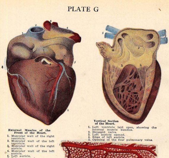 Menselijk hart anatomie medische identificatie grafiek voor Framing