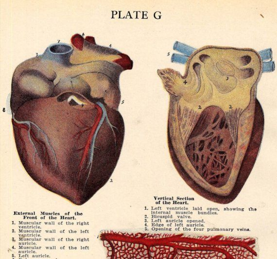 Human Heart Anatomy Medical Identification Chart  For Framing. $27.59, via Etsy.