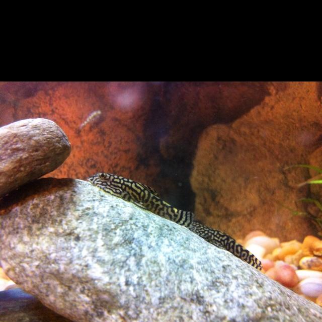 Hillstream Loaches Go Fish (freshwater)... Pinterest