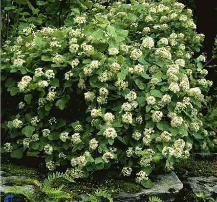 Blærespirea 1,5-3 m, blomstrer i juni/juli med hvite/rosa blomster. Finnes også med mørke blader