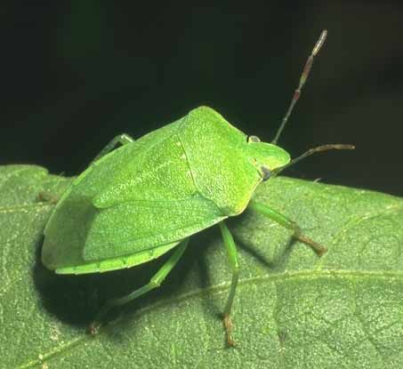 Stink Bugs Guide     learn how to prevent, control and exterminate stink bugs