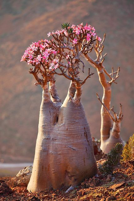 Adenium Obesum - not so much a freaky flower as an utterly weird plant...