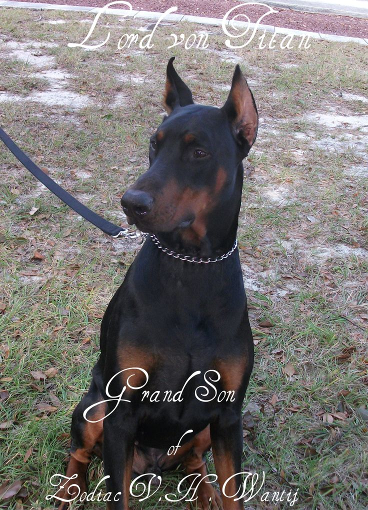 Warlock Doberman Pinscher >>> Visit the image link for more details on taking care of pet dogs.