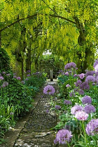 Classic picture of height level colour. Rosemary Verey's pergola of laburnum and alliums