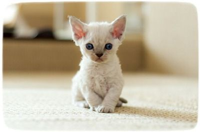 Devon Rexs for Sale | Devon Rex Kittens & Cats for Sale | Find a ...