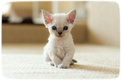 Devon Rexs for Sale   Devon Rex Kittens & Cats for Sale   Find a ...