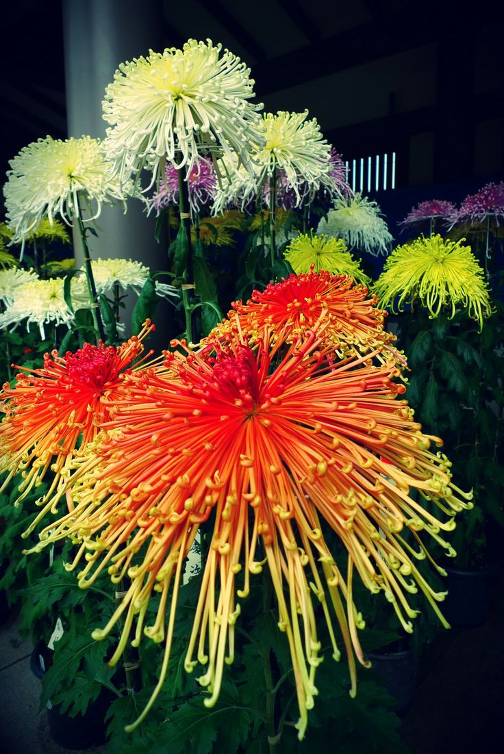 In love with these!  Japanese chrysanthemum