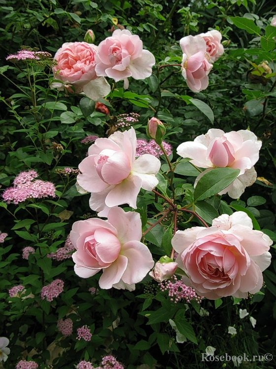 """""""Wildeve"""" (Ausbonny) - A David Austin rose - Highly versatile variety, with many of the features of a good ground cover rose, combined with all the quality of flower of an English Rose. It has a lovely, fresh medium strong fragrance."""