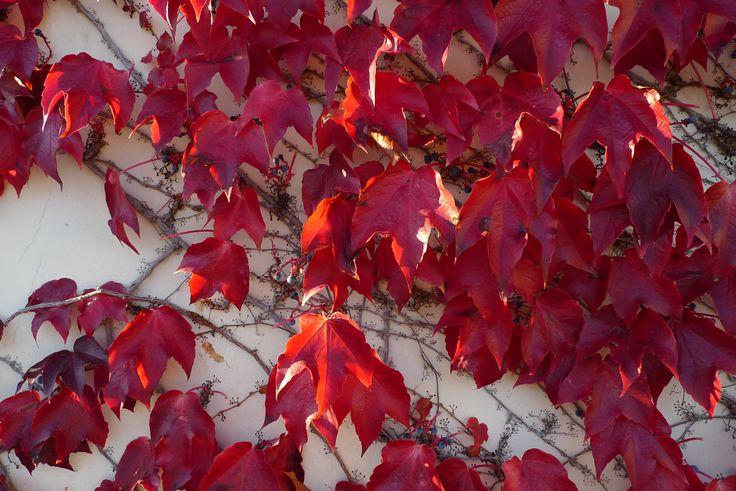 Red autumn leaves, Sorrento, Campania