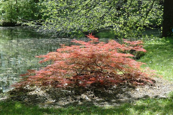 Acer palmatum var. dissectum 'Inaba Shidare'