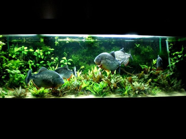A School Of Red Bellied Piranha  Iu0027ve Rarely Seen These Fish. They Get  Quite Large, I Wonder How Big The Tank Is | Aquascaping | Pinterest |  Aquariums