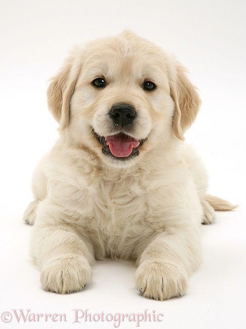 Golden Retriever puppy www.findinghomesinlasvegas.com Keller Williams Realty, #lasvegas NV.