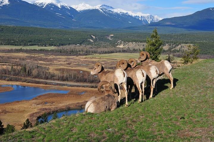 Bighorn Sheep~ Golden BC