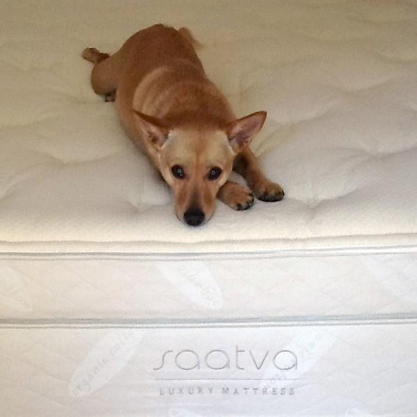 winnie enjoying her new saatva mattress - Saatva Mattress