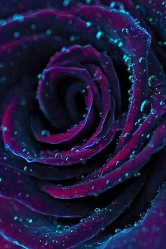 Dark purple rose <3