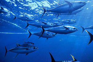 WWF deeply concerned over imminent certification of Mexican tuna fishery #africa  https://buff.ly/2fhJw7y?utm_content=bufferd6e34&utm_medium=social&utm_source=pinterest.com&utm_campaign=buffer What do you think about this?