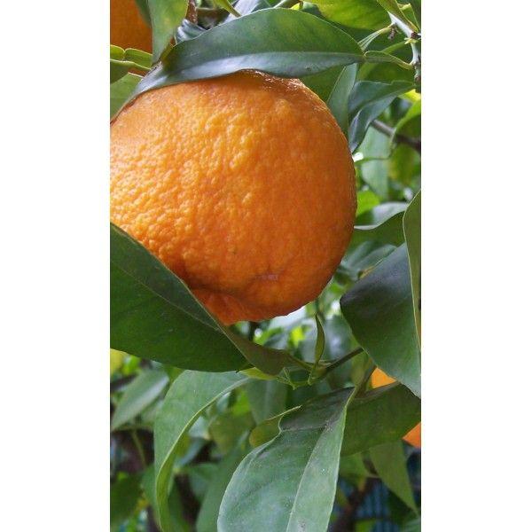 1 Kg. Turunç Meyve Kabuğu Toz Ekstresi,Citrus Aurantium,Bitter Orange Extract - Doğal Tedavi - İbrahim Gökçek - Alternatif Tıp - Bitkisel Ürünler - İksir - Alovera - Bitkisel Sağlık Ürünleri - Şifalı Bitkiler - Bitkisel Setler - Bitkisel İlaçlar - Herbalist İlaç Değil Bitkisel Gıda Takviyesidir. www.alternatiftip.com.tr