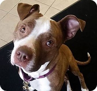 Pictures of Kamalli a Boxer/Pit Bull Terrier Mix for adoption in Dundee, MI who needs a loving home.