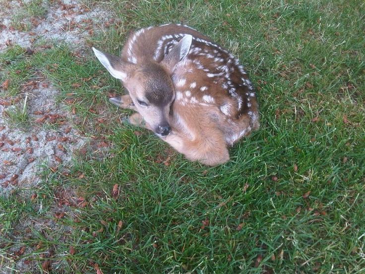This tiny little fawn was resting near the sand trap on the 9th hole