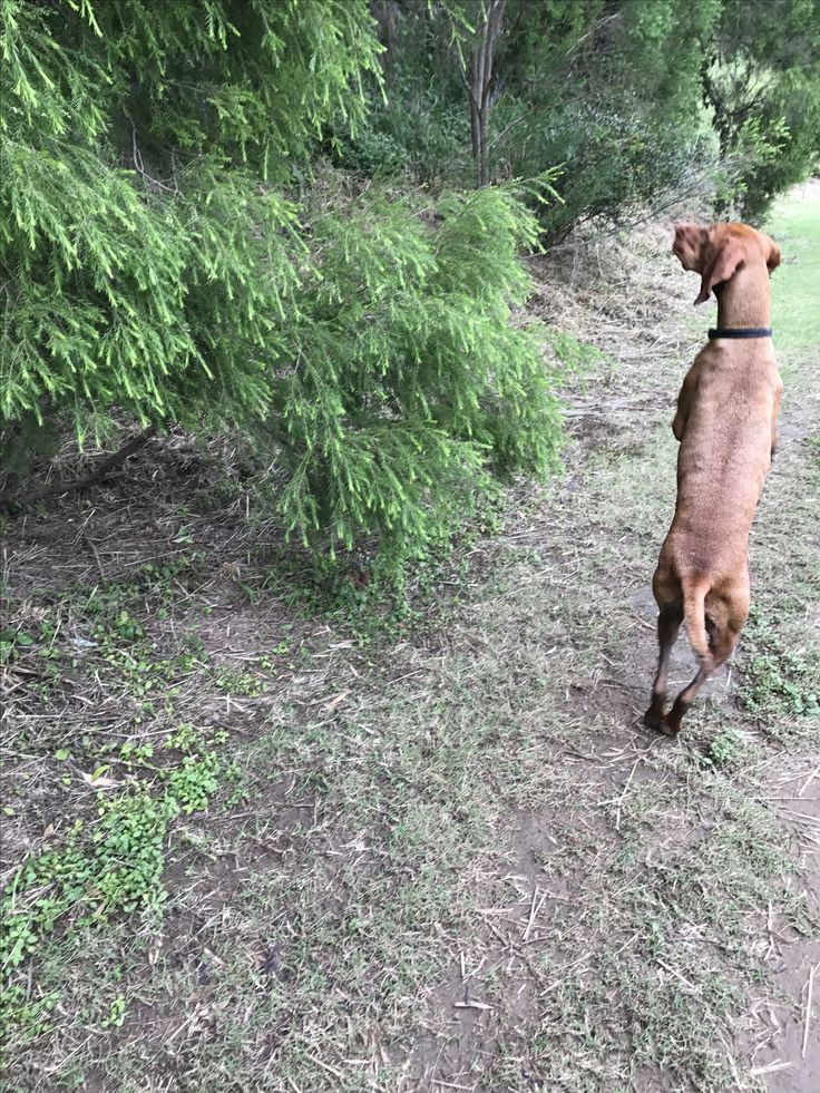 When no one is watching Vizslas walk on their back legs.  Here is a rare photo.  Hedges the biped.