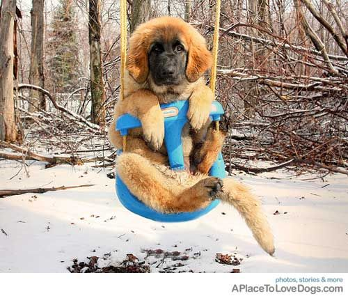 Another Leonberger. :)