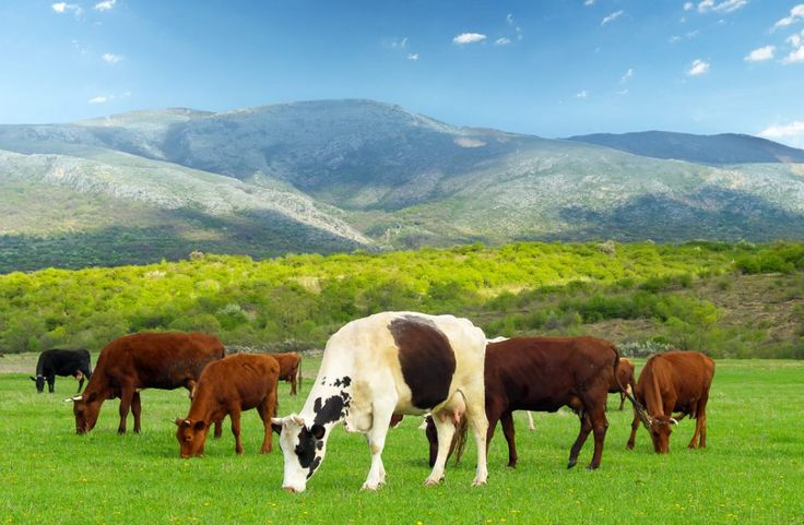 Through Feeder Services, we offer cattle for sale on our website. To list cattle contact your local sales representative. If you are interested in purchasing listed cattle, contact us at: 417-548-2333 the sales representative listed with the cattle.
