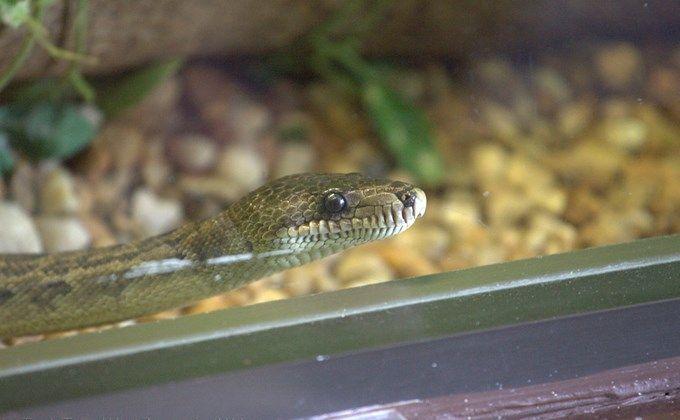 ライノラットスネークの基本情報 飼育方法とは ピンクマウス ヘビ 給餌