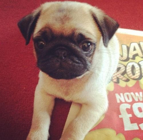 I know they're sort of weird looking, but i'd love to own a pug one day!