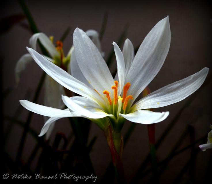 White Rain Lily by Nitika on 500px https://www.facebook.com/NitikaBansalsPhotography